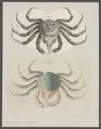 Hyas araneus - - Print - Iconographia Zoologica - Special Collections University of Amsterdam - UBAINV0274 095 11 0003.tif