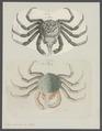 Hyas araneus - - Print - Iconographia Zoologica - Special Collections University of Amsterdam - UBAINV0274 095 11 0003.tif