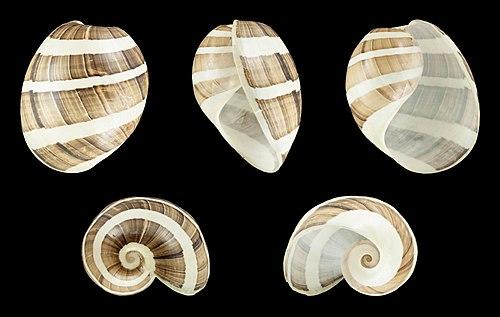 Shell of a White Banded Paper Bubble, Hydatina albocincta