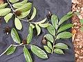 Hydnocarpus pentandra-2-thenmala-kerala-India.jpg