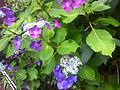Hydrangea - Tokyo area - June 2 2015.jpg