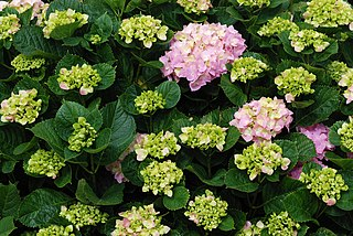 <i>Hydrangea macrophylla</i> species of plant