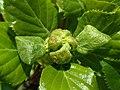 Hydrangea anomala subsp. petiolaris 2019-04-16 0152.jpg
