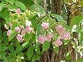 Hydrangea arborescens discolor1.jpg