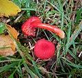 Hygrocybe miniata - Flickr - gailhampshire.jpg