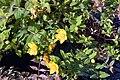 Hypericum x moserianum Tricolor 2zz.jpg