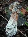Hypomyces cervinigenus 301130.jpg