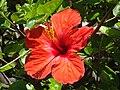 Ibiscus per Anna - panoramio.jpg