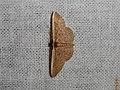 Idaea inversata (40867271910).jpg