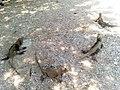 Iguanas en RD.jpg
