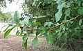 Ilex Decidua, Possumhaw Holly - panoramio.jpg