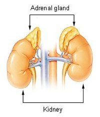Adrenal gland in relation to the kidney