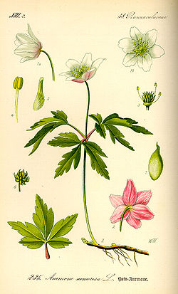 Illustration Anemone nemorosa0.jpg