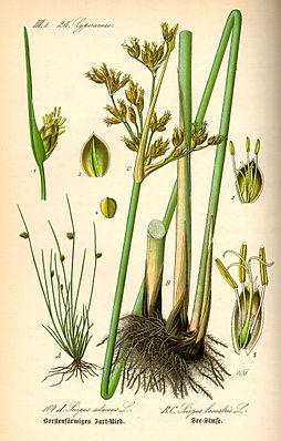 Gewöhnliche Teichbinse (Schoenoplectus lacustris); rechts