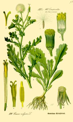 Senecio vulgaris in Otto Wilhelm Thomé,Flora von Deutschland, Österreich und der Schweiz, 1885