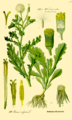 Illustration Senecio vulgaris0.png