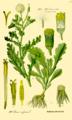Illustration Senecio vulgaris0.png