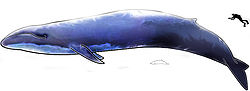 Image-Blue Whale and Hector Dolphine Colored.jpg