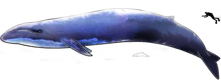 Image-Blue Whale and Hector Dolphine Colored