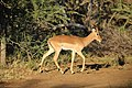 Impala on the side of the road (16901675487).jpg