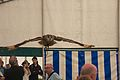 Indian Eagle Owl, Cheshire Game and Country Fair 2014 9.jpg