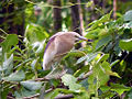 Indian Pond Heron (Breeding).jpg