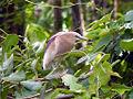 Indian Pond Heron (Breeding).jpg