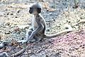 Indian baby gray langur at Bandipur.jpg