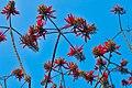 Indian coral tree(Erythrina variegeta).jpg