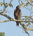 Indian eagle.jpg
