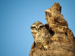 Tree hollow - Indian spotted owlet in tree hollow