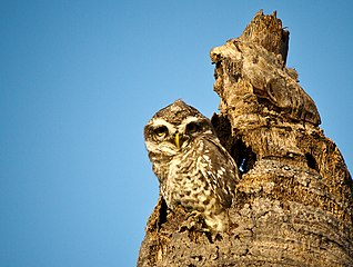 Indian spotted owlet.jpg