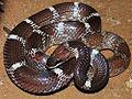 Indian wolf snake (Lycodon aulicus) Photograph By Shantanu Kuveskar.jpg