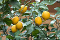 Interdonato lemon - Enterdonat limon 06.jpg