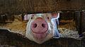 Iowa Pig (7341687640).jpg