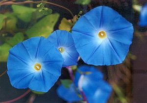 Ipomoea tricolor - Ipomoea tricolor 'Heavenly Blue'
