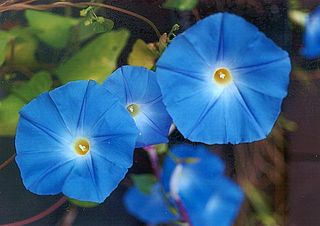 <i>Ipomoea tricolor</i> species of plant