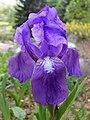 Iris aphylla ssp. hungarica 2016-05-09 0019.jpg