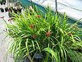 Iris fulva (8937177392).jpg