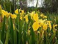 Iris pseudacorus - paleyellow iris - Flickr - Matt Lavin.jpg