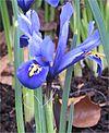 Iris reticulata closeup