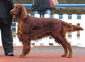 Irish Setter - Irish Setter in a dog show.
