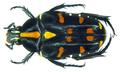 Ixorida( Pseudomecinonota) elegans (Heller, 1896) (8380570604).png