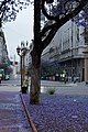 Jacaranda looking down Diagonal Norte.jpg