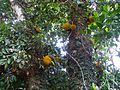 Jack fruit tree in Hainan - 01.jpg