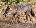 Jackal in evening breeze in Kumana National Park (cropped).jpg