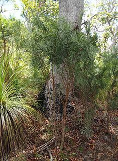 <i>Jacksonia scoparia</i> species of plant