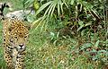 Jaguar (Panthera onca) (22279758251).jpg