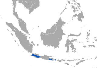 Javan ferret-badger Species of carnivore