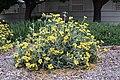 Jerusalem sage Phlomis fruticosa IMG 8828.jpg